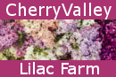 Cherry Valley Lilacs